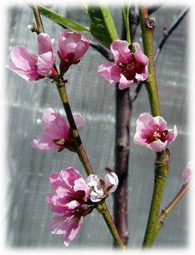 Fruktträd, persika