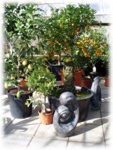 Ett exempel på citrusträd under dess säsong.