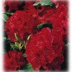 Röd Rhododendron