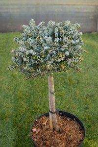 Ett litet bonzaiklippt träd. Kronan är granliknande.