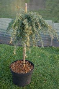 Bonzaiträdet liknar en pinne med ett stycke enbuske på.