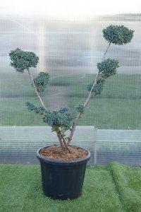 Medelhögt bonzaiträd med två huvudgrenar som tillsammans formar ett V.