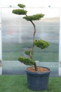 Högt och smalt bonzaiträd med bollar