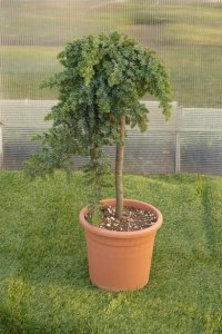 Lägre bonzaiträd med en buskliknande krona.