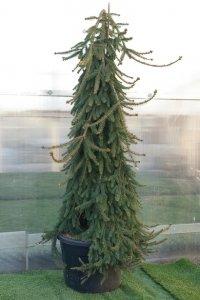 Medelhögt bonzaiträd format som en liten gran