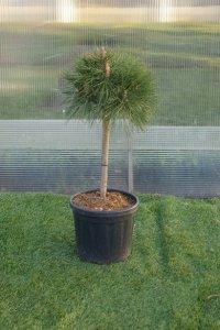 mindre bonzaiträd med en bollformad krona.