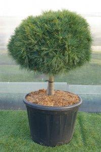 Kort bonzaiträd med en stor boll som krona