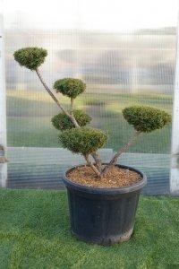 Medelstort bonzaiträd med 5 bollar