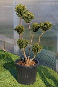 Medelstort bonzaiträd med bollar endast i slutet av grenarna