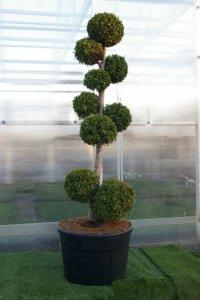 Medelhögt bonzaiträd med rak stam och bollar